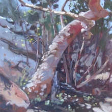 The Angophora